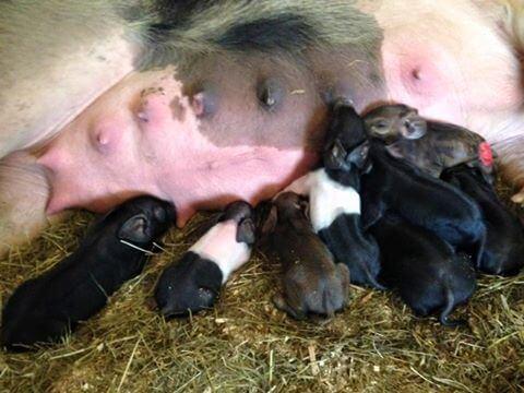 piglet-births